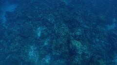 Grey reef shark swimming in lagoon entrance channel, Carcharhinus amblyrhynchos, Stock Footage