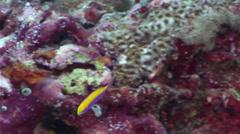 Bartlett's anthias feeding on seaward wall, Pseudanthias bartlettorum, HD, Stock Footage