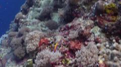 Bartlett's anthias swimming on seaward wall, Pseudanthias bartlettorum, HD, Stock Footage