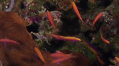 Bartlett's anthias swimming on seaward wall, Pseudanthias bartlettorum, HD, Stock Footage