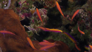 Stock Video Footage of Fish | Anthias | Bartlett's Anthias | Seaward Wall | Tracking