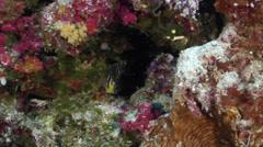 Multi-barred angelfish swimming on seaward wall, Centropyge multifasciata, HD, Stock Footage