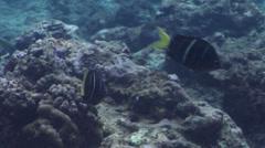 Yellowtail sergeant swimming, Abudefduf notatus, HD, UP33062 Stock Footage
