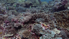 Breastspot cleaner wrasse swimming on protected seaward coral garden, Labroides Stock Footage