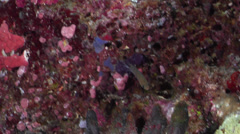Ambon chromis feeding on protected deep wall, Chromis amboinensis, HD, UP33163 Stock Footage