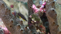 Juvenile Thread-finned dottyback swimming on protected deep wall, Manonichthys Stock Footage
