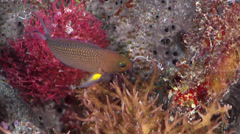 Thread-finned dottyback fleeing on protected deep wall, Manonichthys polynemus, Stock Footage