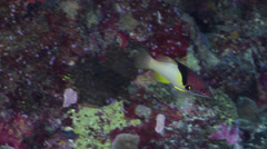 Splitlevel hogfish swimming on protected deep wall, Bodianus mesothorax, HD, Stock Footage
