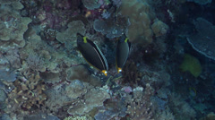 Orangespine unicornfish territorial on protected deep wall at dusk, Naso Stock Footage
