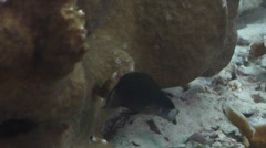Brown dottyback feeding on silty inshore reef, Pseudochromis fuscus, HD, UP33509 Stock Footage