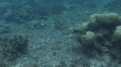 Anchor tuskfish swimming on silty inshore reef, Choerodon anchorago, HD, UP33519 Stock Footage