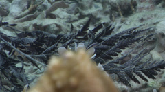 Head and tailspotted coralgoby on silty inshore reef, Gobiodon heterospilos, Stock Footage