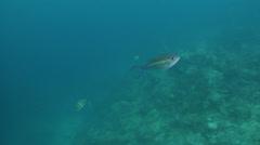 Goldstripe whiptail feeding on silty inshore reef, Pentapodus aureofasciatus, Stock Footage