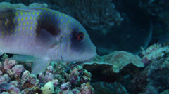 Doublebar goatfish on seaward wall, Parupeneus crassilabrus, HD, UP33739 Stock Footage