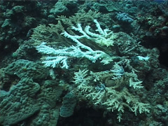 Mixed hard coral garden, Acropora spp. Video 1003. Stock Footage