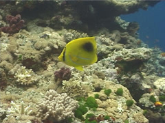 Bennett's butterflyfish feeding on shallow coral reef, Chaetodon bennetti, Stock Footage