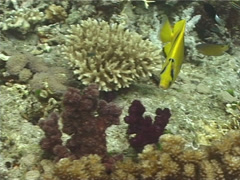 Bennett's butterflyfish feeding, Chaetodon bennetti, UP10039 Stock Footage