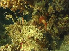 Roughsnout ghost pipefish hovering at dusk, Solenostomus paegnius, UP10046 Stock Footage