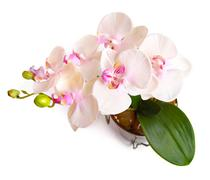 Flower pot with orchid isolated on white Stock Photos