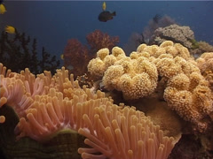 Magnificent sea anemone swaying on shallow coral reef, Heteractis magnifica, Stock Footage