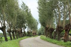 Stock Photo of road with willows and distant cyclist