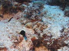 Juvenile Blue ribbon eel gaping, Rhinomuraena quaesita, UP10124 Stock Footage