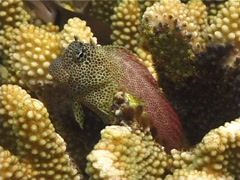 Shortbodied blenny, Exallias brevis, UP10144 Stock Footage
