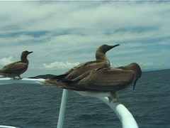 Brown booby fighting, Sula leucogaster, UP10149 Stock Footage