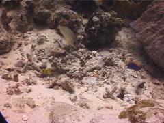 Titan triggerfish, Balistoides viridescens, UP10215 Stock Footage