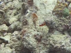 Juvenile Yellow-tail coris feeding, Coris gaimard, UP10226 Stock Footage