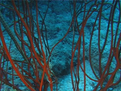 Juvenile Trumpetfish hiding, Aulostomus chinensis, UP10229 Stock Footage