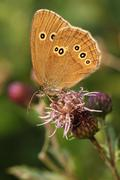 Ringlet butterfly on Thistle - stock photo