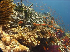 Ocean scenery hard coral garden, on shallow coral reef, UP10248 Stock Footage