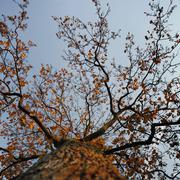 Orange leaves of maple tree Stock Photos