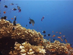 Ocean scenery hard coral garden, on shallow coral reef, UP10249 Stock Footage