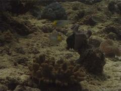 Blueband goby feeding on sand, Valenciennea strigata, UP10259 Stock Footage
