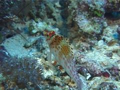 Dwarf hawkfish, Cirrhitichthys falco, UP10304 Stock Footage