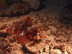 Smallscale scorpionfish at night, Scorpaenopsis oxycephala, UP10313 Stock Footage