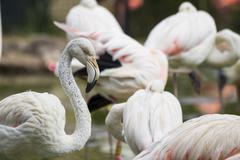 Flamingo in a flock of flamingoes Stock Photos