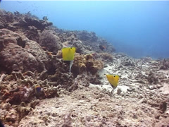 Longnose butterflyfish feeding, Forcipiger longirostris, UP10356 Stock Footage