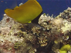 Longnose butterflyfish feeding, Forcipiger longirostris, UP10358 Stock Footage