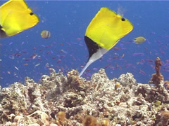 Longnose butterflyfish feeding, Forcipiger longirostris, UP10359 Stock Footage