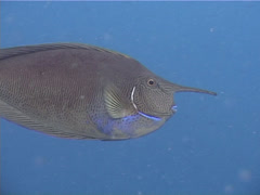 Spotted unicornfish swimming, Naso brevirostris, UP10388 Stock Footage