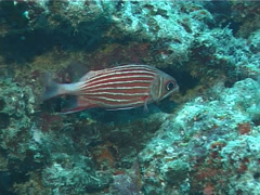 Fish | Soldierfish/Squirrelfish | Crown Squirrelfish | Medium Shot - stock footage