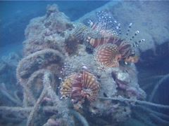 Zebra lionfish, Dendrochirus zebra, UP10402 Stock Footage