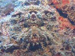 Smallscale scorpionfish, Scorpaenopsis oxycephala, UP10425 Stock Footage
