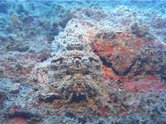 Smallscale scorpionfish, Scorpaenopsis oxycephala, UP10426 Stock Footage