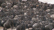 Stock Video Footage of Wildebeests (Connochaetes taurinus) crossing the Mara River