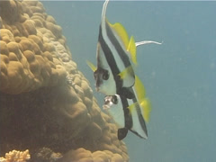 Longfin bannerfish swimming, Heniochus acuminatus, UP10435 Stock Footage