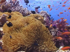 Distant group of scuba divers swimming on beautiful healthy and diverse reef Stock Footage